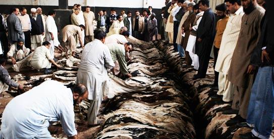 JamaatuDawa, auction of skins, eid, animal skins, animal hides,