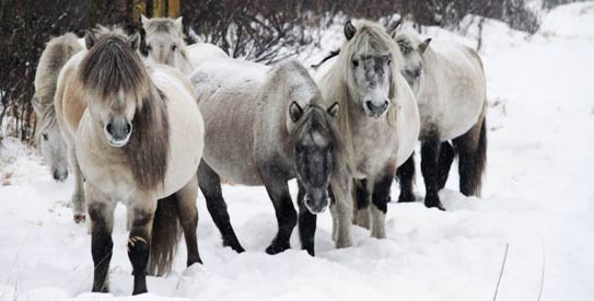 Yakutian horse, Pleistocene Park, ice age, siberia, Russian scientist Sergey Zimov