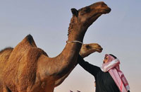 Dubai police discover 'shock' device being used on camels