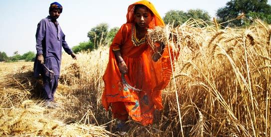 pakistan wheat