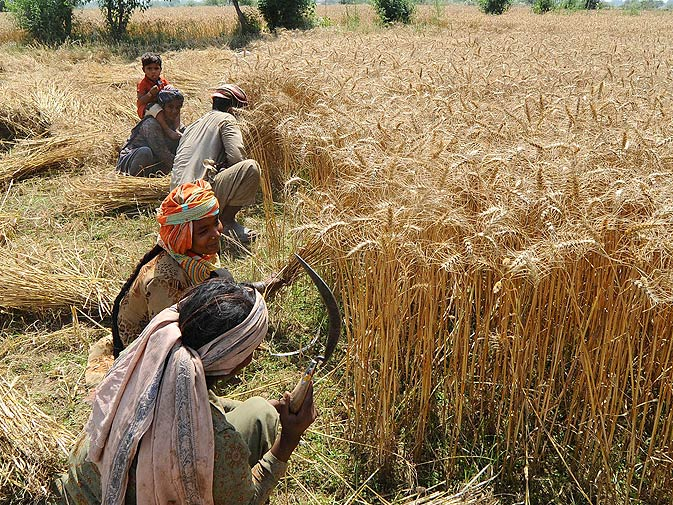 Farmers Welcome The Heat For Wheat Business Dawn Com