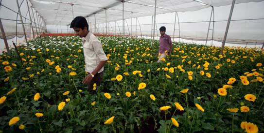 India S Flower Farms A Budding Investment World Dawn Com