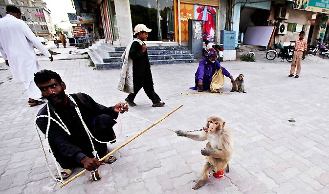 Trained monkeys sit next to their owners as they wait to perform, on a roadside in Islamabad. – Photo by AP