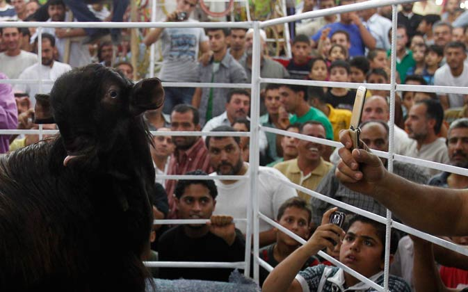 People look at Maaz Al Shami (Damascene goat) during the Mazayen al-Maaz competition.