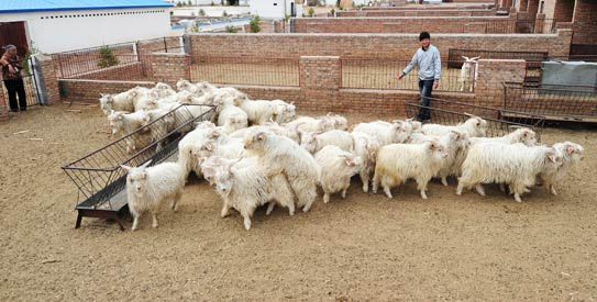 Huge Livestock Losses Feared In Sindh Newspaper Dawn Com