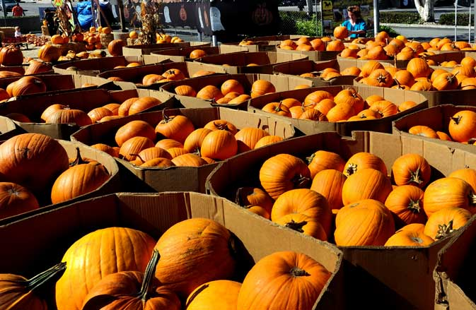 A woman makes her choice from a display of pumpkins at a pumpkin patch in Culver City on October 28, 2011 in southern California ? AFP photo.