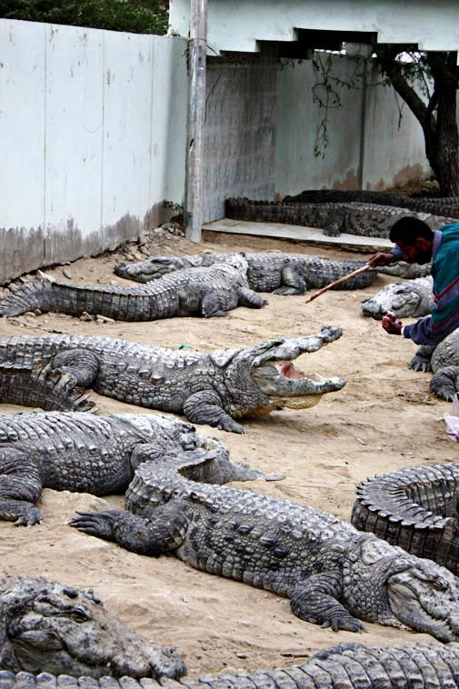 A caretaker bends over to feed the crocodiles with the help of a stick.