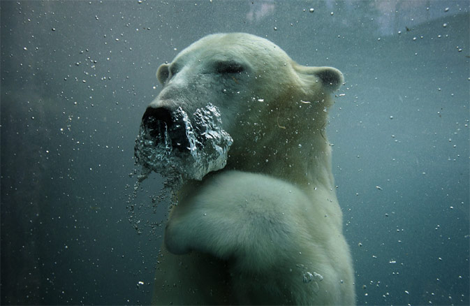 A polar bear swims underwater in the St-Felicien Wildlife Zoo in St-Felicien, Quebec October 31, 2011. According to Environment Canada, Canada is home to around 15,000 of the estimated 20,000 polar bears in the world.