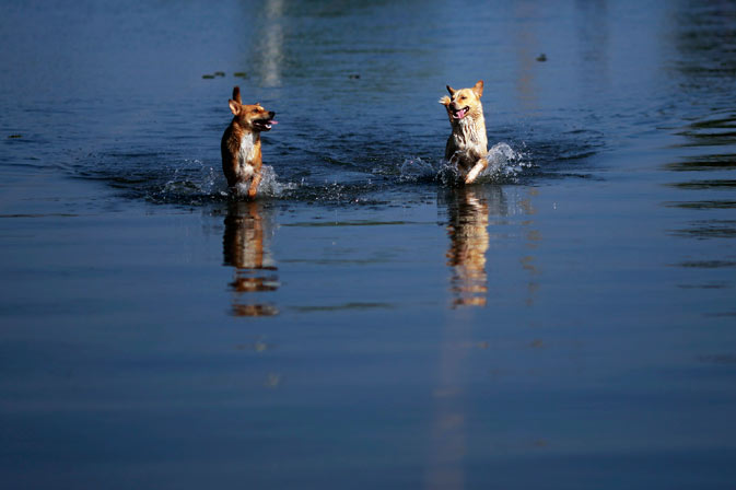 Dogs run through a flooded street in Ayutthaya province November 19, 2011. ? Reuters Photo