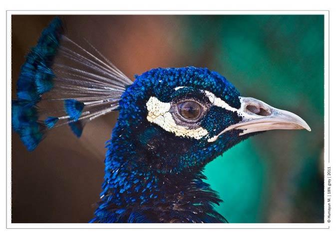 A peacock at the Gurdwara- Photo by Humayun Memon | 18% grey