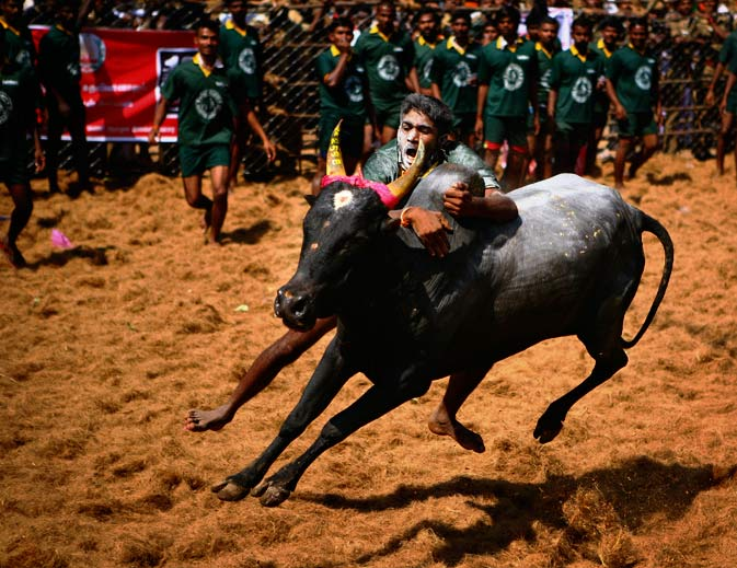 A bull tamer holds on to a bull during Jallikattu, a bull-taming sport played as part of the harvest festival of Pongal, in Palamedu, about 575 kilomters (359 miles) south of Chennai, India, Monday, January 16, 2012. - AP Photo