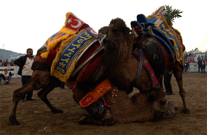 Two wrestling camels fight at the Pamucak arena during the Selcuk-Efes Camel Wrestling Festival in the town of Selcuk, near the western Turkish coastal city of Izmir, January 15, 2012. Hundreds of wrestling camels competed in the annual event watched by thousands of enthusiasts in western Turkey. - Reuters Photo