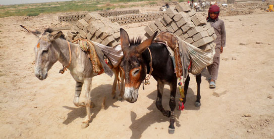 Pakistan, much like all developing countries, relies on animals for laborious tasks. —Photos courtesy PAWS