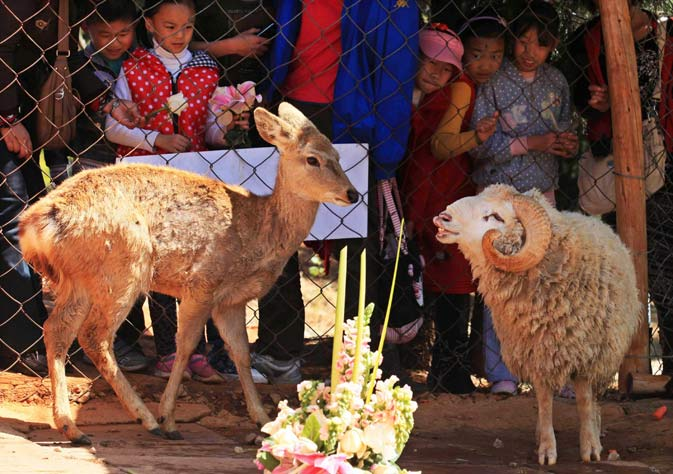 Children look at Changmao, the ram and Chunzi, the doe, during a cross-species wedding ceremony at Yunnan Wild Animal Park on Valentine's Day in Kunming, Yunnan province. – Reuters Photo.