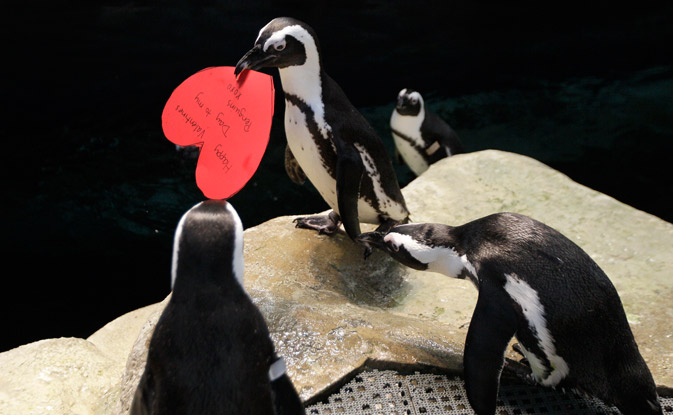 African penguin Howard carries a valentine heart written by a visitor to the California Academy of Sciences in San Francisco, on the eve of Valentine's Day. – AP Photo.