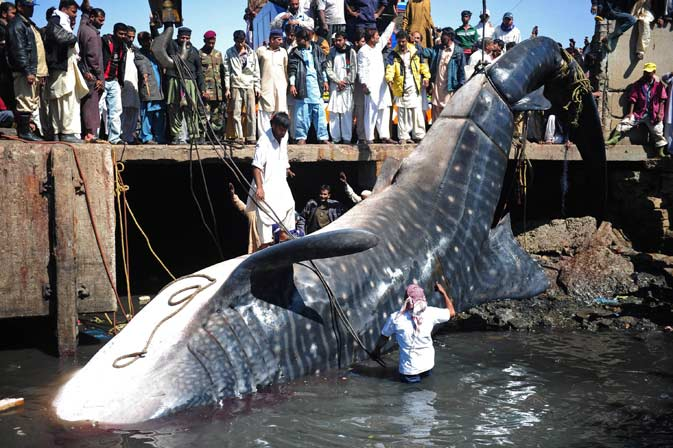 Pakistani fishermen use cranes to pull the carcass of a whale shark from the waters at a fish harbour in Karachi. ? AFP Photo