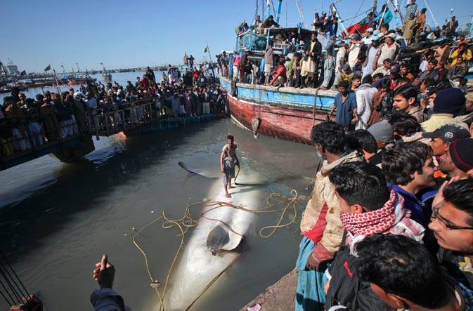 A man stands on a dead whale shark before it was pulled from the water by cranes as residents gather at Karachi. ? Reuters Photo