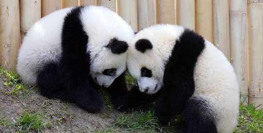 China streams live panda video to foster conservation