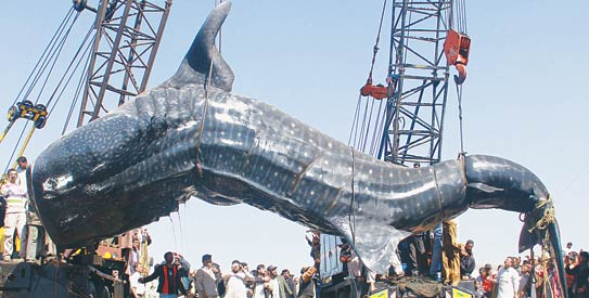 36-foot-long whale shark carcass brought to city harbour