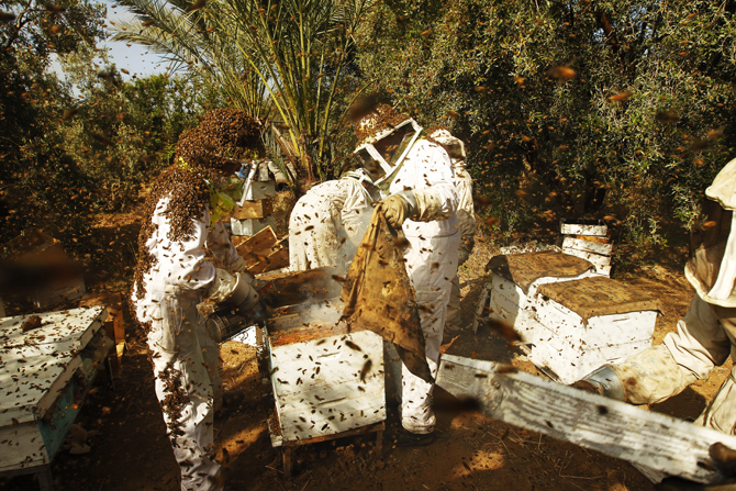 Palestinian beekeepers inspect hives at an apiary near the central Gaza Strip refugee camp of Bureij. ? Photo by AFP.