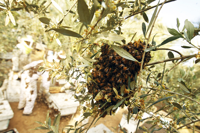 Bees take pollen from flowers on a tree as Palestinian beekeepers inspect hives at an apiary near the central Gaza Strip refugee camp of Bureij. ? Photo by AFP.