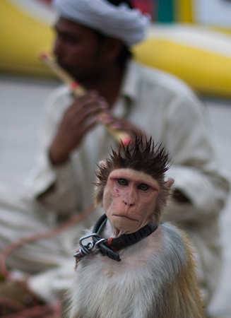 A Pakistani monkey handler Naseer Khan plays flute to attract passers by for a monkey show to earn his living in Islamabad. – AP Photo