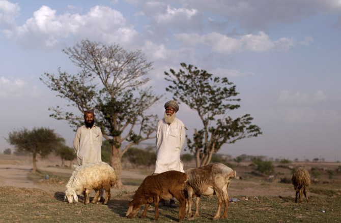 Pakistani herders feed their livestock in a field on the outskirts of Islamabad. – AP Photo