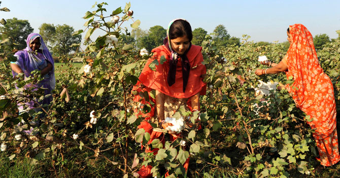 Indian farmers pluck cotton at a field in Badarkha village.