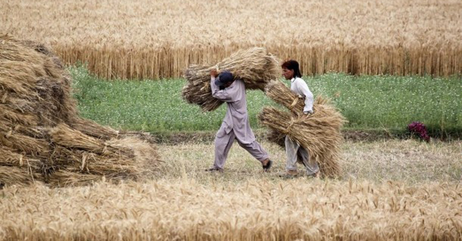 Farmers carry newly harvested wheat at a field in Punjab.—Reuters Photo