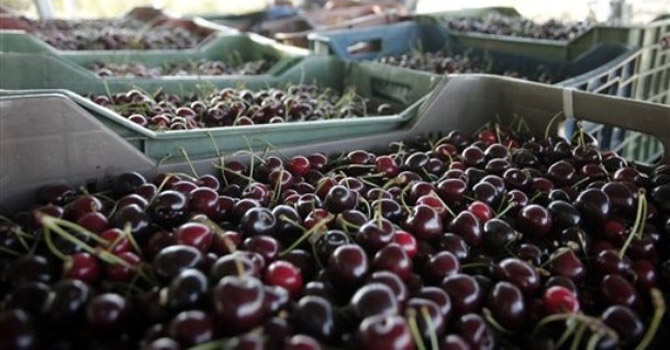 Cherries are stored at the cherry orchards.—AP Photo