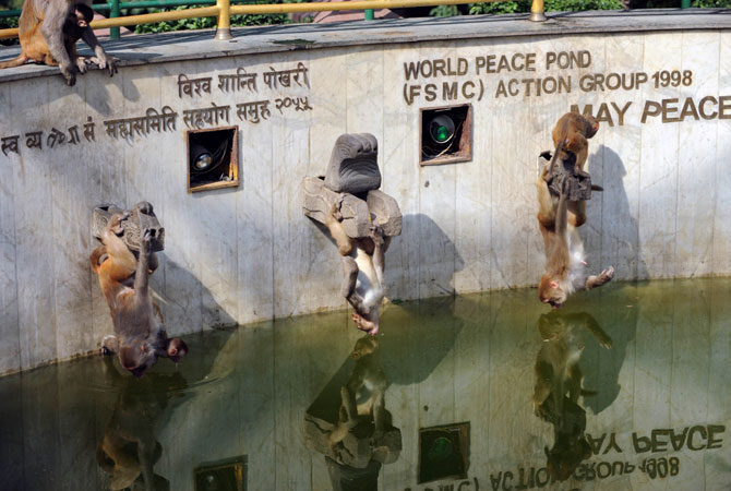 Macaque monkeys hang upside down as they drink water from a pond at the Swayambhunath Stupa area in Kathmandu, Nepal. -Photo by AFP
