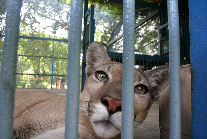 Safari Park's newest inhabitants, a pair of Pumas, are pictured here in their temporary home at the Karachi Zoological Garden, Pakistan. -Photo by PPI