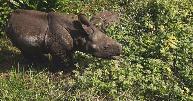A one-horned rhinoceros cub grazes Mikania Micrantha climber vine plants in Chitwan National Park, some 200kms southwest of Kathmandu.  — File photo by AFP