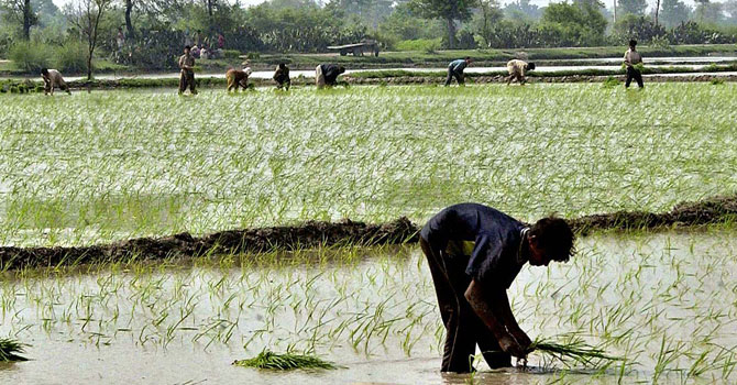 Farmers working at a rice field. — File Photo