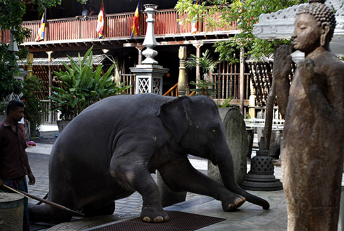 "Seven-year old female elephant, ?Ganga"" who belongs to a Buddhist temple bows down to Buddha's statues practicing routine rituals at the temple in Colombo, Sri Lanka. -Photo by AP"