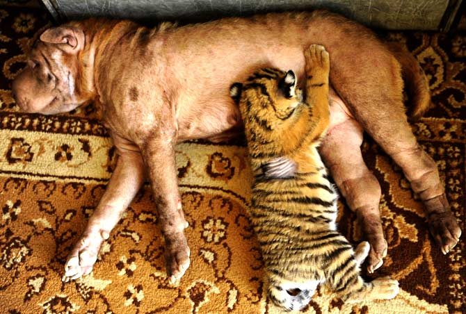 Shar Pei dog Cleopatra breast-feeding one of the two adopted tiger cubs in the Russia's Black Sea resort of Sochi, on June 29, 2012. The two cubs, named Clyopa and Plyusha, were born late last month in Sochi zoo and adopted by their new mum. ? Photo by AFPShar Pei dog Cleopatra breast-feeding one of the two adopted tiger cubs in the Russia's Black Sea resort of Sochi, on June 29, 2012. The two cubs, named Clyopa and Plyusha, were born late last month in Sochi zoo and adopted by their new mum. ? Photo by AFP