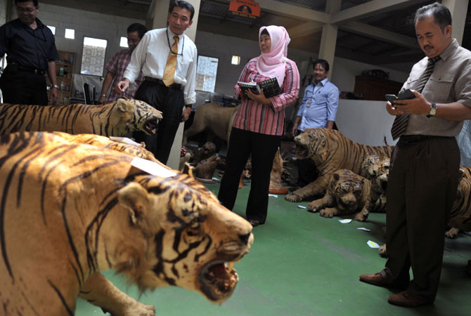 Members of the Indonesian national police and the special crime unit inspecting 14 seized preserved bodies of critically-endangered Sumatran tigers at a warehouse in Cibubur, south of Jakarta.