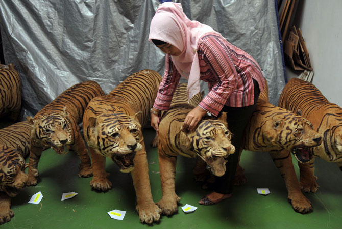 Indonesian police seized 14 preserved bodies of critically-endangered Sumatran tigers in a raid on a house near Jakarta, a spokesman said on July 19.