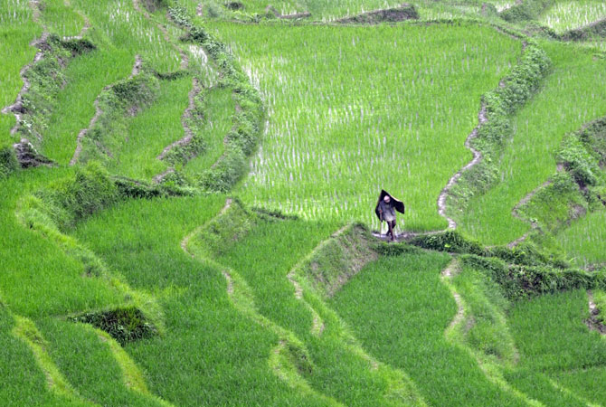 A Nepalese farmer, wearing a raincover made from bamboo strips to keep dry during monsoon rains, walks past rice paddy fields at Khokana village. Rice accounts for almost 50 percent of cereal production in Nepal, which is particularly dependent on rainfall because less than one-third of its agricultural land is irrigated. ? Photo by AFP