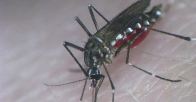 Aedes Aegypti mosquito feeding on blood. — Reuters Photo