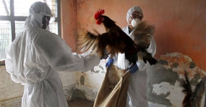 Health Department officials, wearing protective gear, cull birds at a poultry farm.—AP Photo