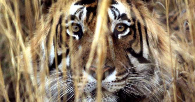 india-tiger-afp-670