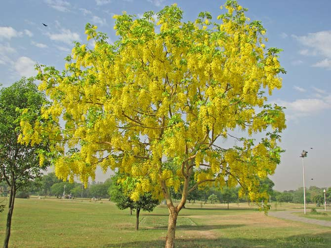 "The Golden Shower tree (Casia Fistula), locally known as ""Amaltas"", bears a fruit which is used in local herbal medicine. It is also called ""umeed ka phool"": flower of hope."