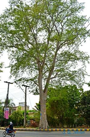 "The White Marudha (Terminalia Arjuna), locally known as ""Arjun"", is a beautiful tree. In local languages it is called ""baaghon ka muhafiz"": protector of gardens."