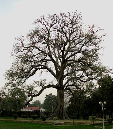 "The Silk Cotton tree (Bombax Ceiba), locally known as ""Sumbal"". A tree that matches its name in beauty, and it is often covered with flowers and strands of silk."