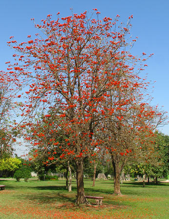 "Indian Coral tree/Flame tree (Erythrina Stricta Subirosa), this tree bears different coloured flowers and is often called ""Rangeela"": or colourful."
