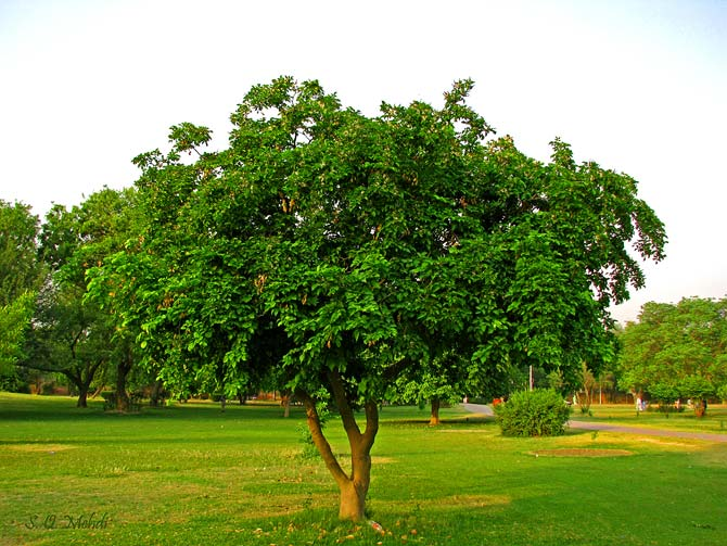 "Indian Beech tree (Pongamia Pinata), locally known as ""Sukh Chain"" or the tree of tranquility and happiness."