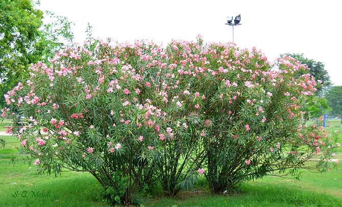 "Mexican Oleander (Nerium Oleander) locally known as ""Kanair"", is common in the villages and gardens of Punjab."