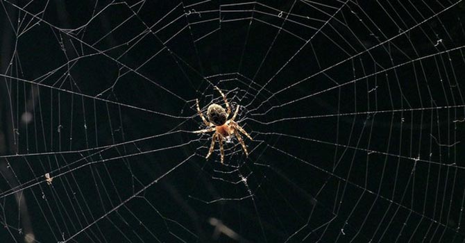 A spider sits in the centre of its woven net. — Reuters Photo