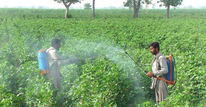Farmers spray pesticide over cotton crop in Faisalabad. – File photo by APP